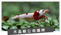 水晶虾公母识别